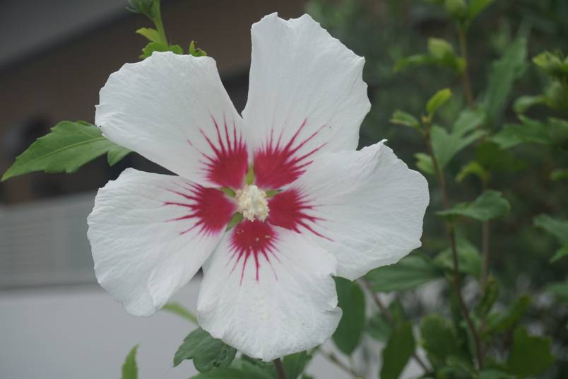 お庭にもう一つ。咲きました♪